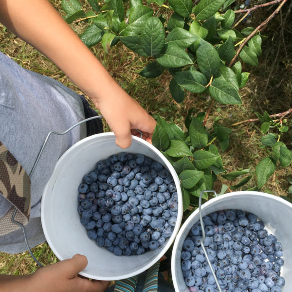 Freezing fresh blueberries